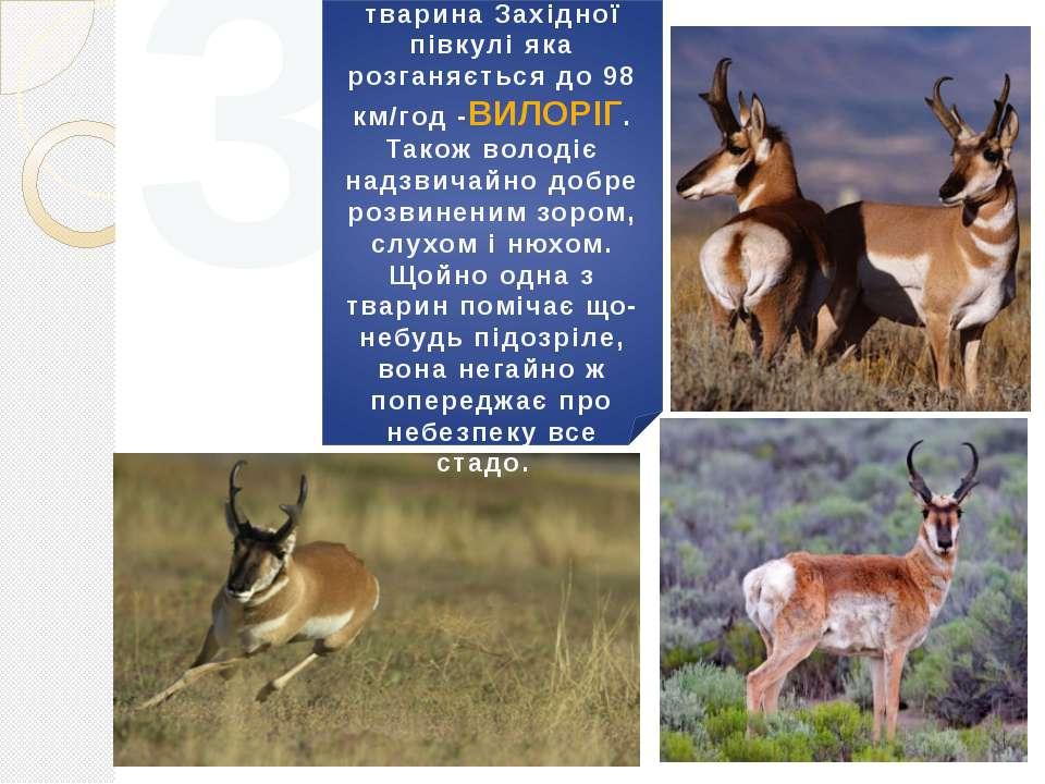 3 Найшвидша наземна тварина Західної півкулі яка розганяється до 98 км/год -В...