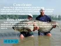 Риби, які плавають задом наперед Латимерії можуть плавати і задом наперед, і ...