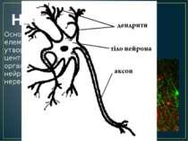 Нейрони Основні структурні елементи ЦНС, вони утворюють у ній цервові центри,...