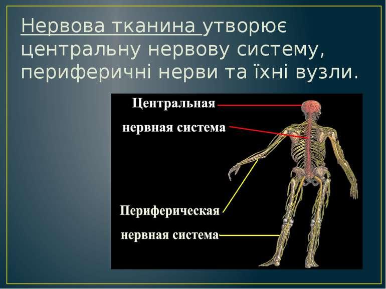 Нервова тканина утворює центральну нервову систему, периферичні нерви та їхні...