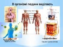 В організмі людини виділяють Кісткова система М`язова система Нервова система...