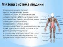 М'язова система людини М'язивиконуютьрухову (моторну) функцію.Клітиним'яз...