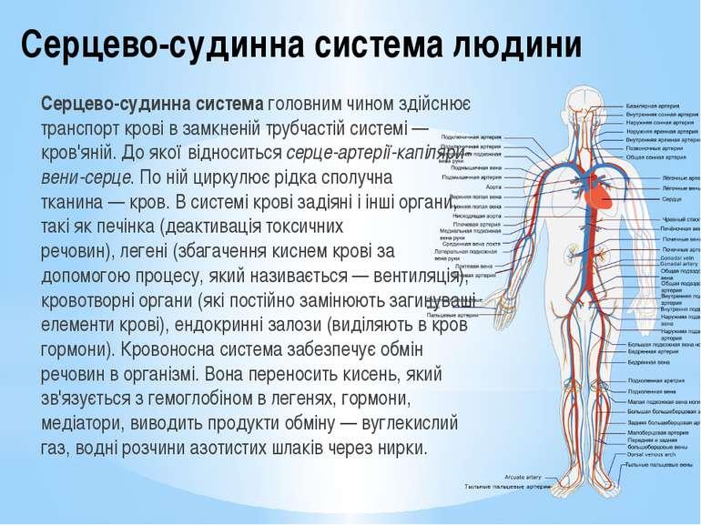 каких случаях що не входить до складу кровоносної системи воспитатель это