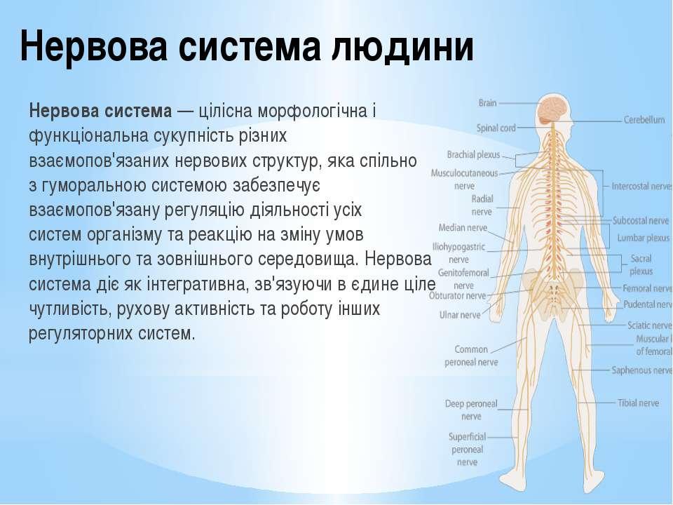 Нервова система людини Нервова система— ціліснаморфологічнаі функціональна...