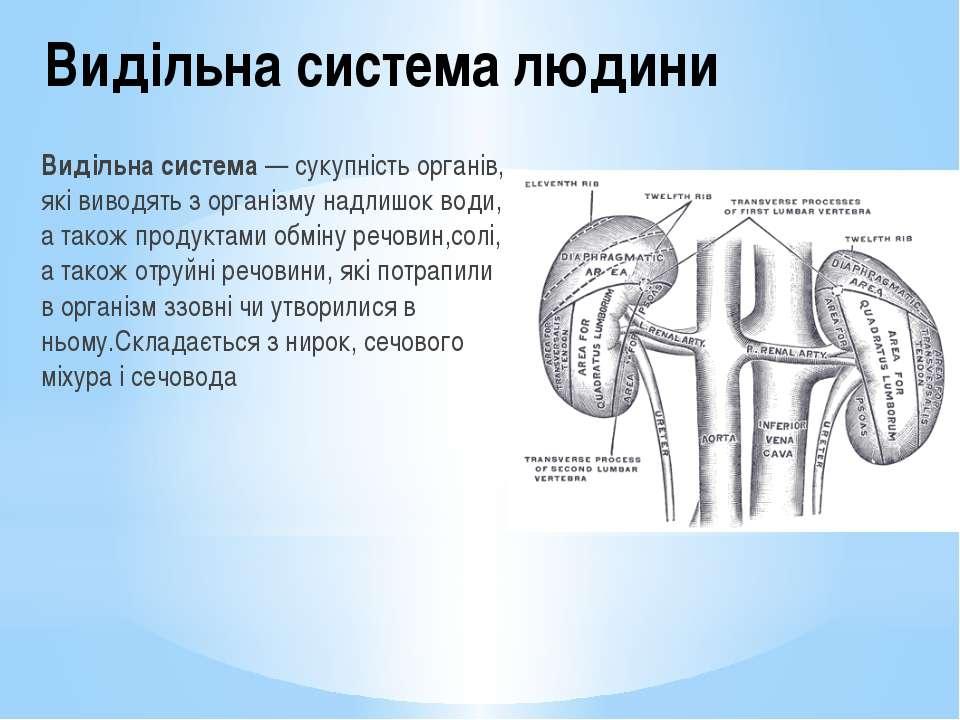 Видільна система людини Видільна система— сукупність органів, які виводять з...