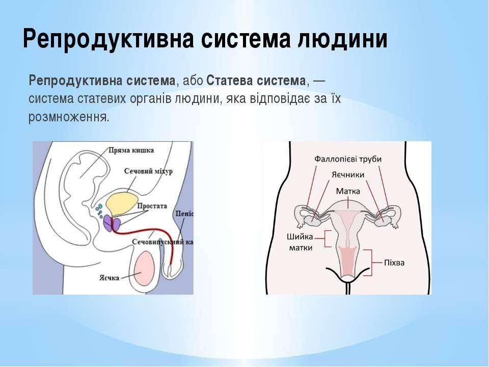 Репродуктивна система людини Репродуктивна система, абоСтатева система, — си...