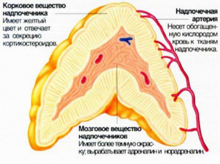 В состав надпочечников входят две структуры – мозговое и корковое вещество. О...
