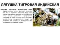 ЛЯГУШКА ТИГРОВАЯ ИНДИЙСКАЯ ЛЯГУШКА ТИГРОВАЯ ИНДИЙСКАЯ (Rana tigrina) которая ...