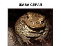 ЖАБА СЕРАЯ