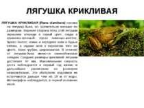 ЛЯГУШКА КРИКЛИВАЯ ЛЯГУШКА КРИКЛИВАЯ (Rana clamitans) похожа на лягушку-быка, ...