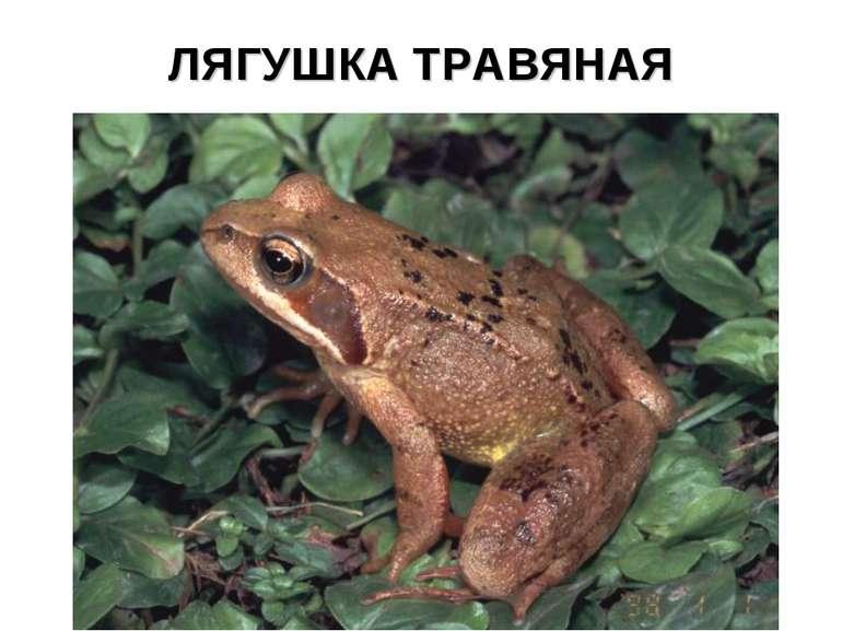 ЛЯГУШКА ТРАВЯНАЯ