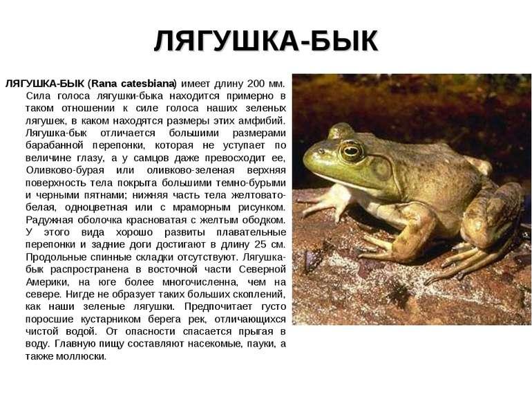 ЛЯГУШКА-БЫК ЛЯГУШКА-БЫК (Rana catesbiana) имеет длину 200 мм. Сила голоса ляг...