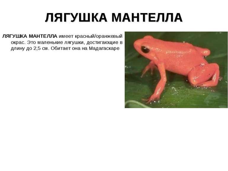 ЛЯГУШКА МАНТЕЛЛА ЛЯГУШКА МАНТЕЛЛА имеет красный/оранжевый окрас. Это маленьки...