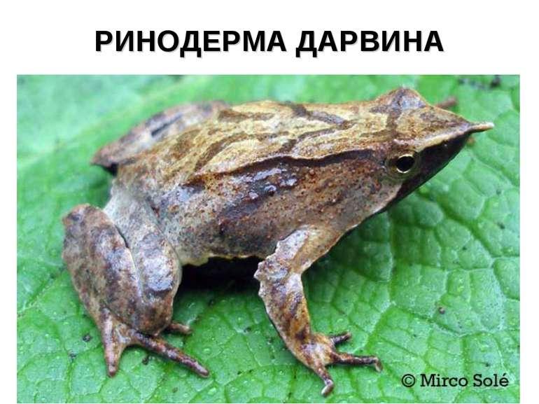 РИНОДЕРМА ДАРВИНА
