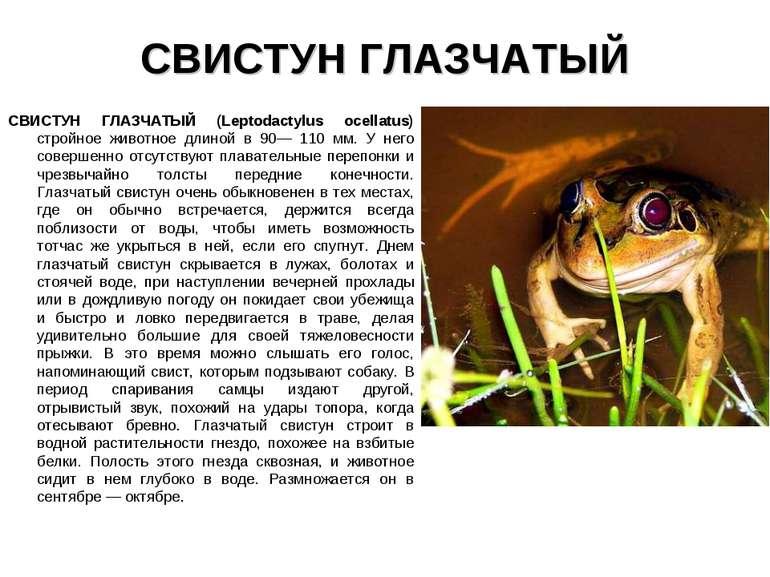 СВИСТУН ГЛАЗЧАТЫЙ СВИСТУН ГЛАЗЧАТЫЙ (Leptodactylus ocellatus) стройное животн...