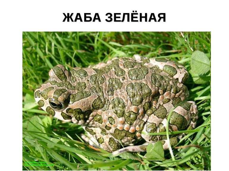 ЖАБА ЗЕЛЁНАЯ
