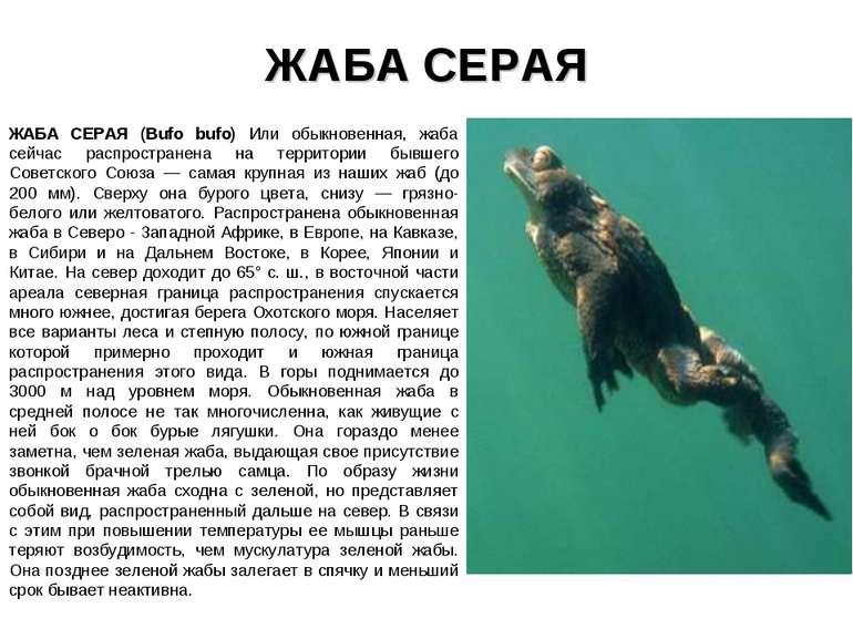 ЖАБА СЕРАЯ ЖАБА СЕРАЯ (Bufo bufo) Или обыкновенная, жаба сейчас распространен...