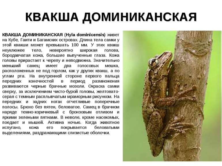 КВАКША ДОМИНИКАНСКАЯ КВАКША ДОМИНИКАНСКАЯ (Hyla dominicensis) живет на Кубе, ...