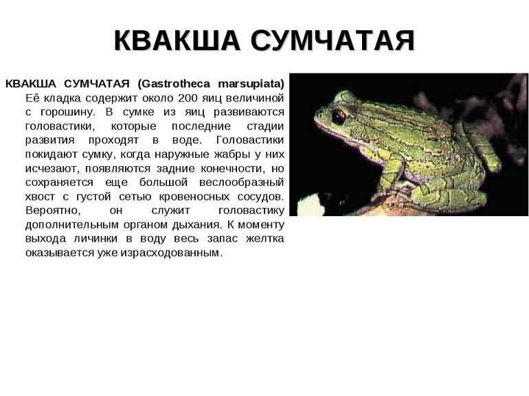 КВАКША СУМЧАТАЯ КВАКША СУМЧАТАЯ (Gastrotheca marsupiata) Её кладка содержит о...