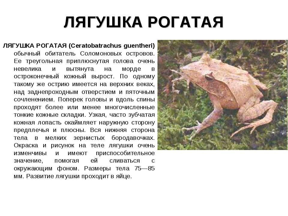 ЛЯГУШКА РОГАТАЯ ЛЯГУШКА РОГАТАЯ (Ceratobatrachus guentheri) обычный обитатель...