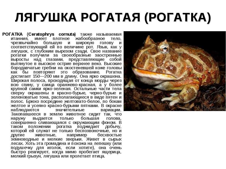 ЛЯГУШКА РОГАТАЯ (РОГАТКА) РОГАТКА (Ceratophrys cornuta) также называемая итан...