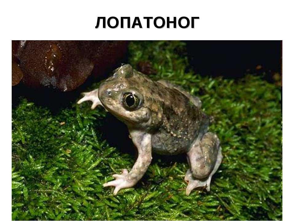 ЛОПАТОНОГ