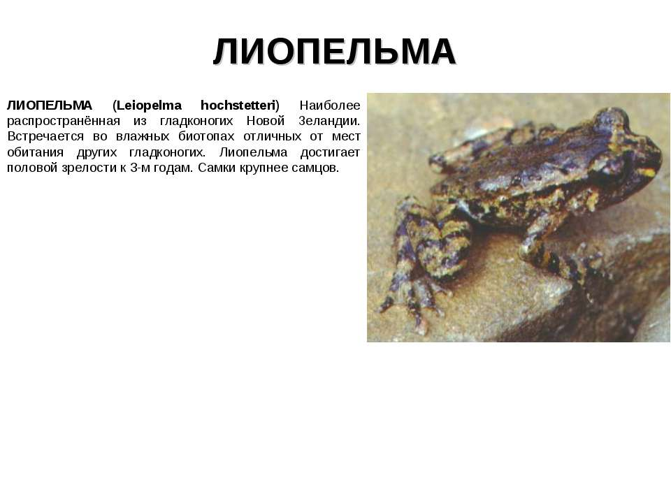 ЛИОПЕЛЬМА ЛИОПЕЛЬМА (Leiopelma hochstetteri) Наиболее распространённая из гла...