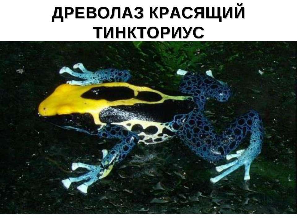 ДРЕВОЛАЗ КРАСЯЩИЙ ТИНКТОРИУС
