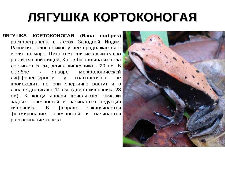 ЛЯГУШКА КОРТОКОНОГАЯ ЛЯГУШКА КОРТОКОНОГАЯ (Rana curtipes) распространена в ле...