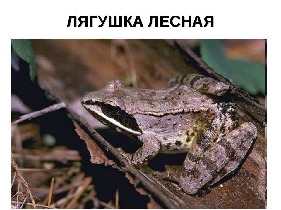 ЛЯГУШКА ЛЕСНАЯ