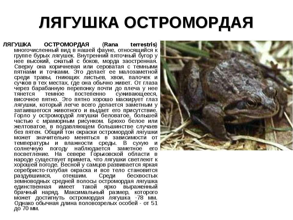 ЛЯГУШКА ОСТРОМОРДАЯ ЛЯГУШКА ОСТРОМОРДАЯ (Rana terrestris) многочисленный вид ...