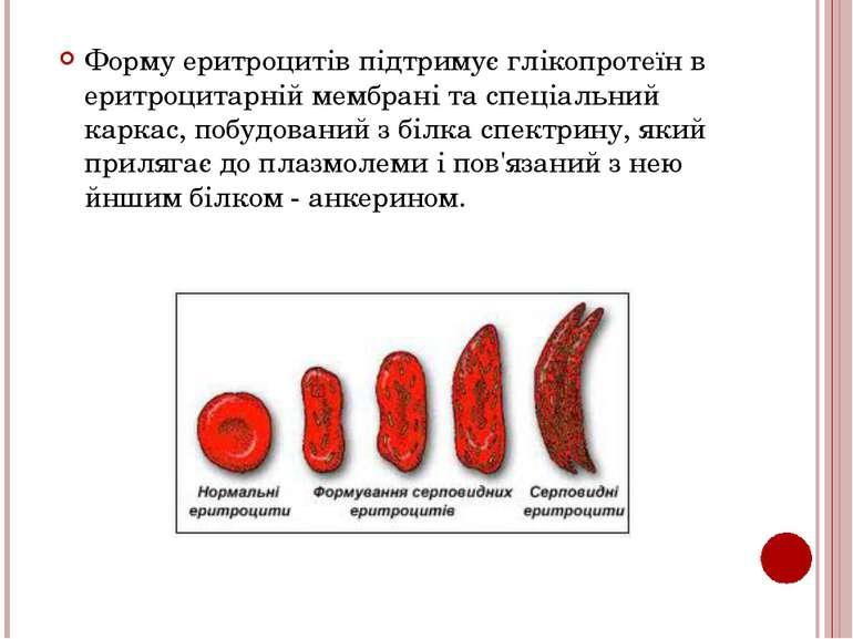 Форму еритроцитів підтримує глікопротеїн в еритроцитарній мембрані та спеціал...