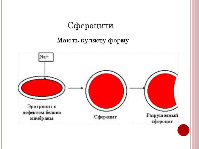 Сфероцити Мають кулясту форму