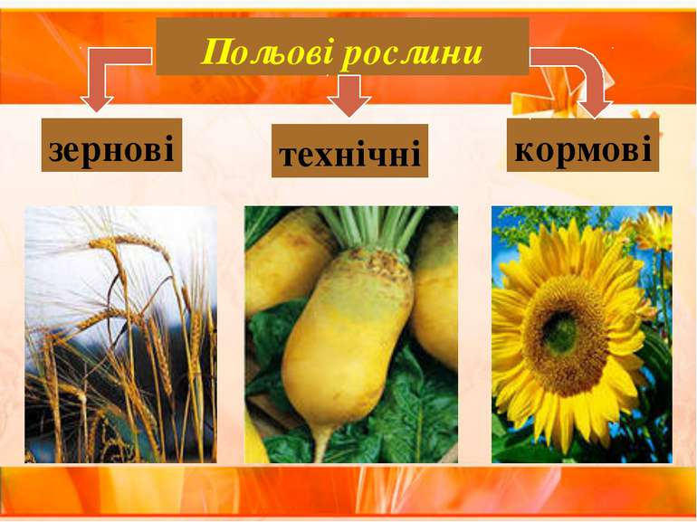 Польові рослини зернові технічні кормові