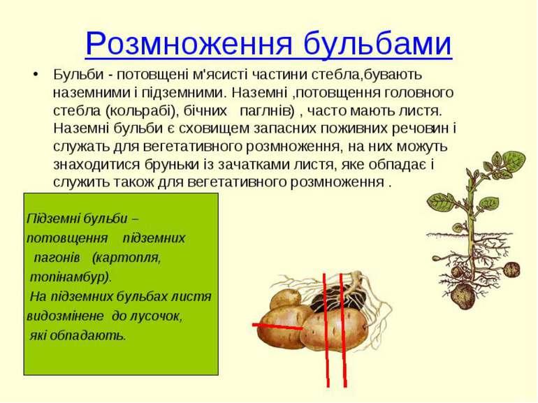Реферат вегетативне розмноження рослин 2537