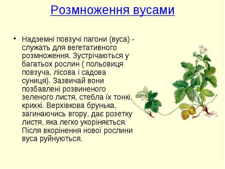 Реферат вегетативне розмноження рослин 7426
