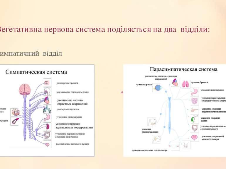 Вегетативна нервова система поділяється на два відділи: симпатичний відділ па...