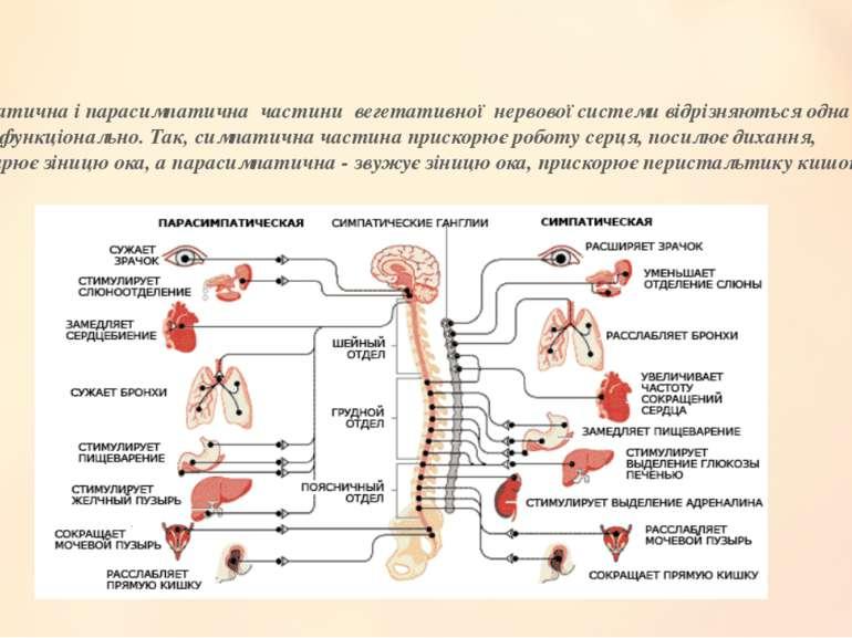 Симпатична і парасимпатична частини вегетативної нервової системи відрізняють...