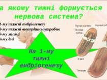На 1-му тижні ембріогенезу На 9-му тижні внутрішньоутробно На 9-му місяці На ...