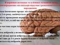 В нервових волокнах таклітинах головного мозку уновонародженихмієлінізація...