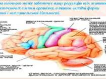 Кора головного мозку забезпечує вищу регуляцію всіх життєво забезпечуючих сис...