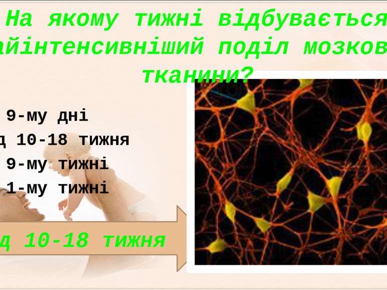 Від 10-18 тижня На якому тижні відбувається найінтенсивніший поділ мозкової т...