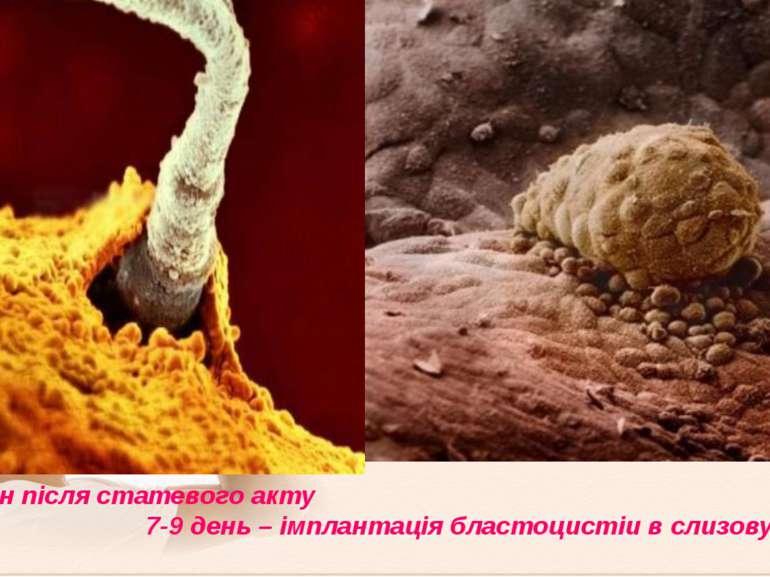 8-10 годин після статевого акту 7-9 день – імплантація бластоцистіи в слизову...