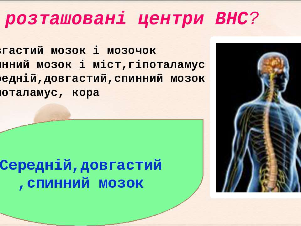 Де розташовані центри ВНС? Довгастий мозок і мозочок Спинний мозок і міст,гі...