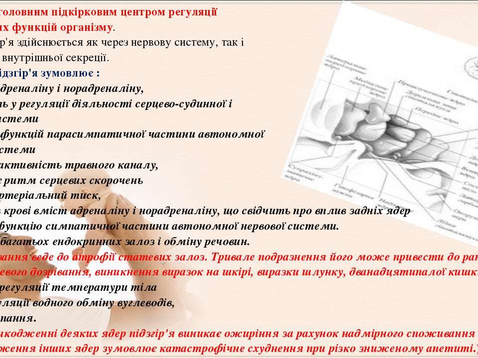 Підзгір'яє головним підкірковим центром регуляції вегетативних функцій орган...