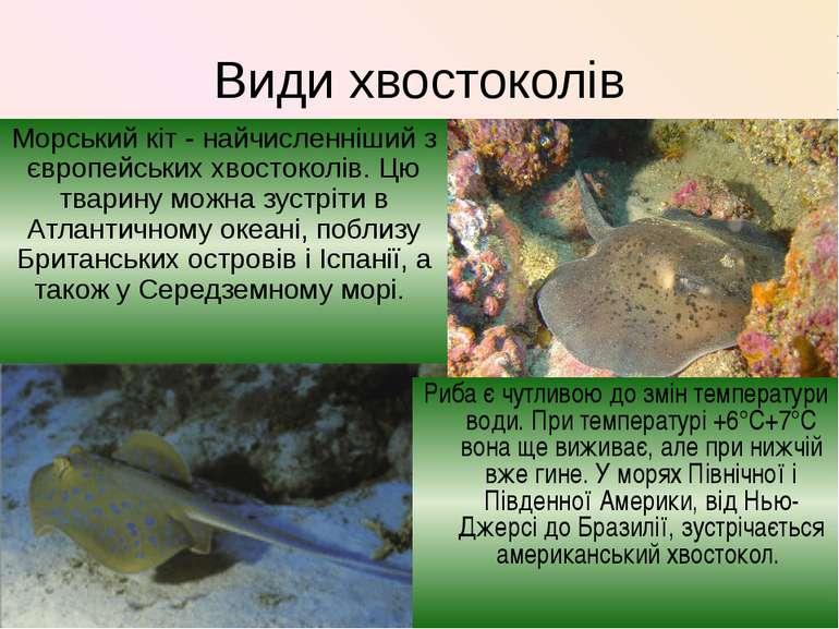 Види хвостоколів Морський кіт - найчисленніший з європейських хвостоколів. Цю...
