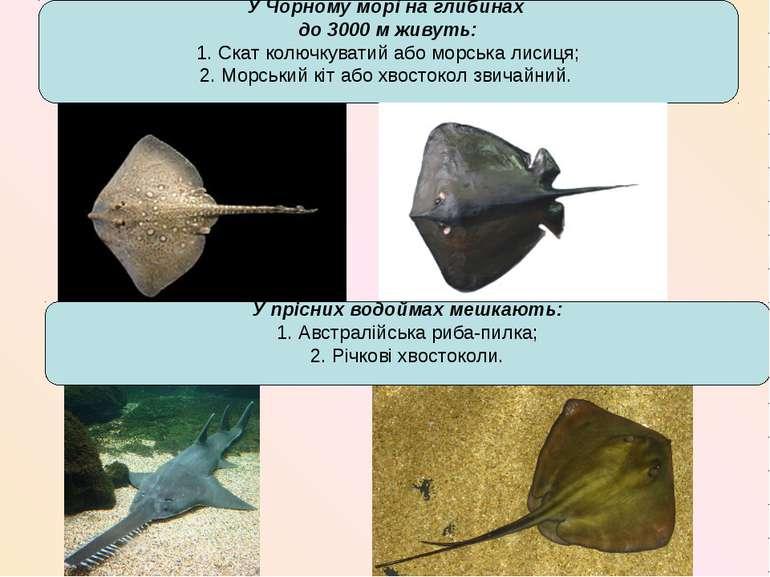 У Чорному морі на глибинах до 3000 м живуть: 1. Скат колючкуватий або морська...