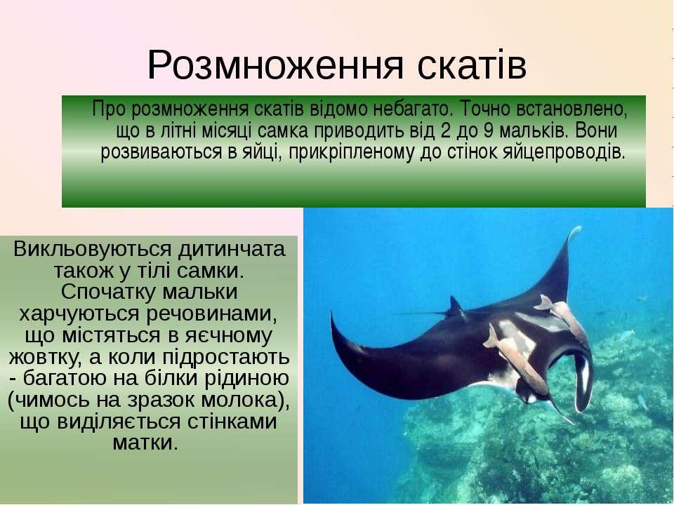 Розмноження скатів Викльовуються дитинчата також у тілі самки. Спочатку мальк...