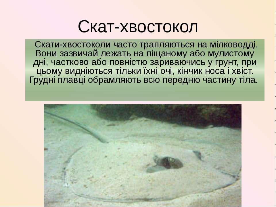 Скат-хвостокол Скати-хвостоколи часто трапляються на мілководді. Вони зазвича...