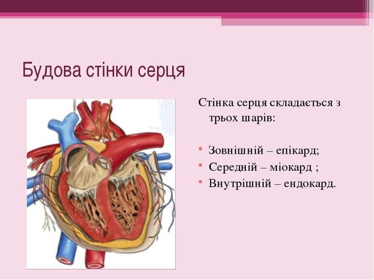 Будова стінки серця Стінка серця складається з трьох шарів: Зовнішній – епіка...